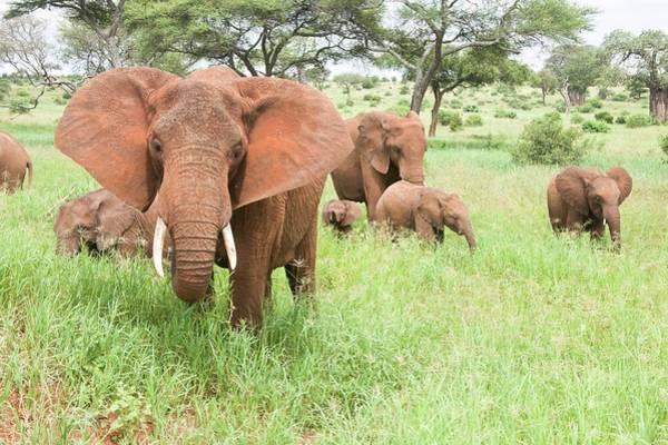 African Elephant Photograph - African Elephant Loxodonta Africana by Photostock-israel
