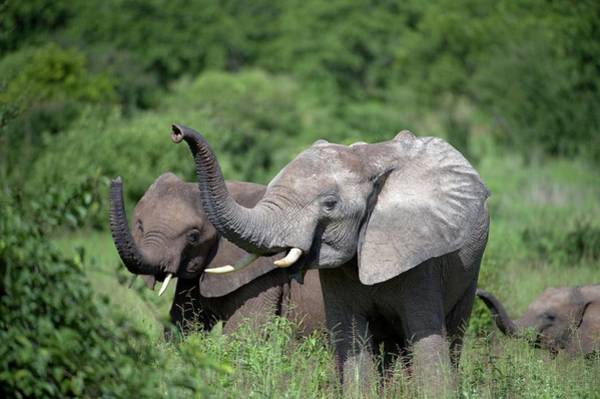 Big 5 Photograph - African Elephants by Dr P. Marazzi/science Photo Library