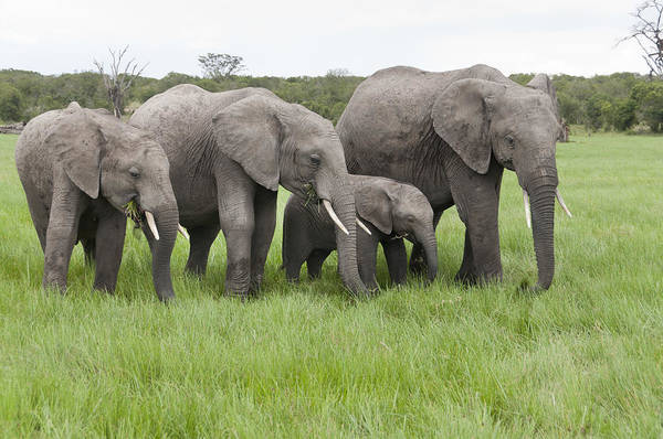 Photograph - African Elephants Grazing  Kenya by Tui De Roy