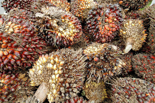 Wall Art - Photograph - African Oil Palm Fruits by Sinclair Stammers/science Photo Library