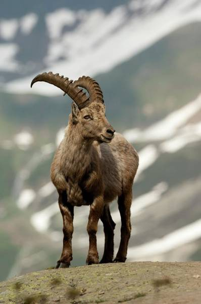Mountain Goat Wall Art - Photograph - Alpine Ibex by Duncan Shaw