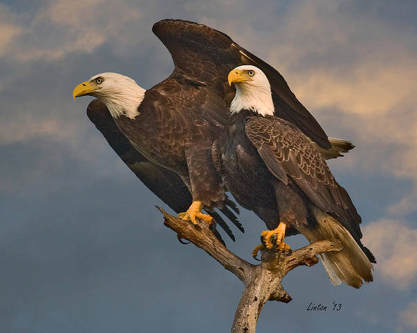Photograph - American Bald Eagle Pair by Larry Linton