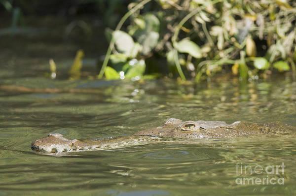Photograph - American Crocodile by Dan Suzio