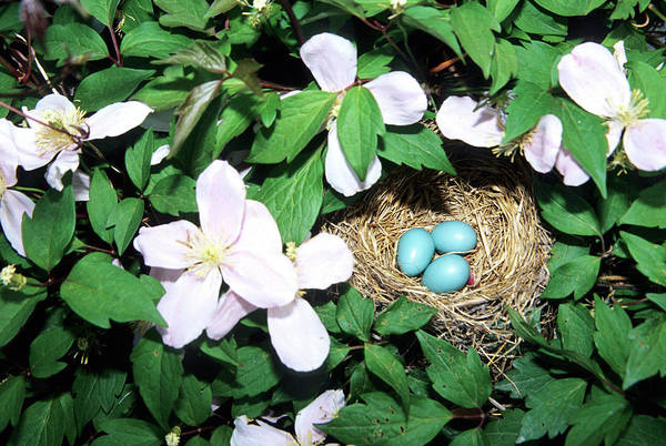 Robin Egg Blue Photograph - American Robin (turdus Migratorius by Richard and Susan Day