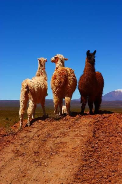 Lama Wall Art - Photograph - 3 Amigos by FireFlux Studios