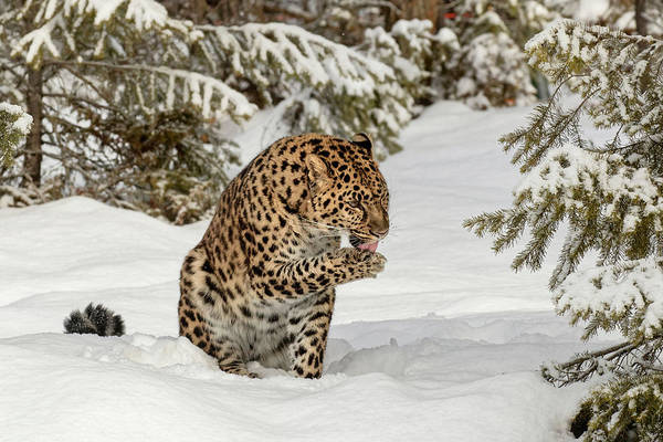 Wall Art - Photograph - Amur Leopard In Winter by Adam Jones