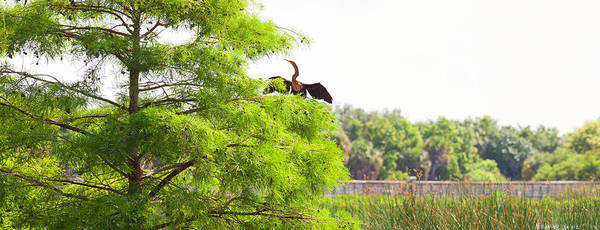 Boynton Photograph - Anhinga Anhinga Anhinga On A Tree by Panoramic Images