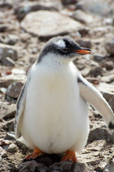 Colony Photograph - Antarctica Neko Harbor Gentoo Penguin by Inger Hogstrom