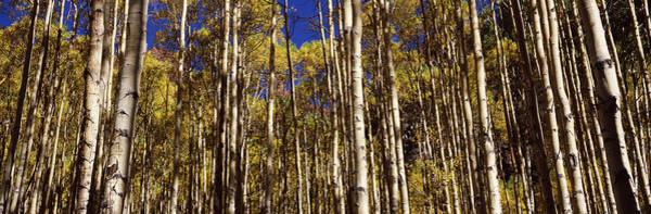 Peacefulness Photograph - Aspen Trees In Autumn, Colorado, Usa by Panoramic Images