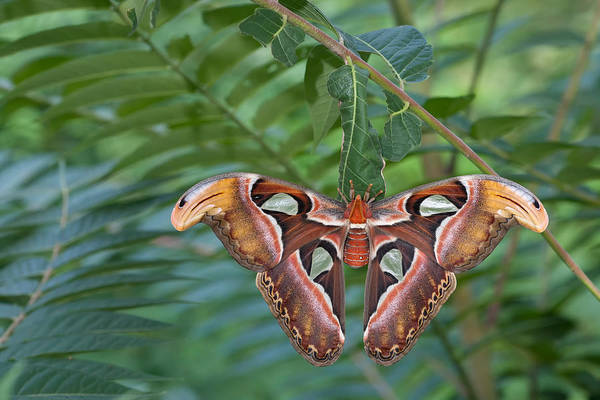 Wall Art - Photograph - Atlas Moth by Jeffrey Lepore