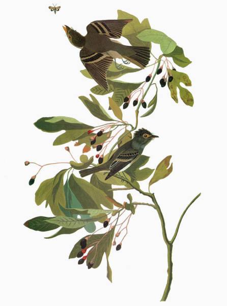 Flycatcher Painting - Audubon Flycatcher by Granger