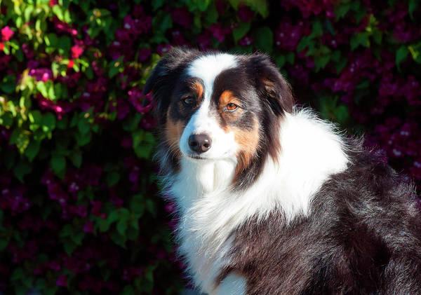 Rancho Mirage Photograph - Australian Shepherd Portrait (mr & Pr by Zandria Muench Beraldo