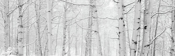 Thicket Photograph - Autumn Aspens With Snow, Colorado, Usa by Panoramic Images