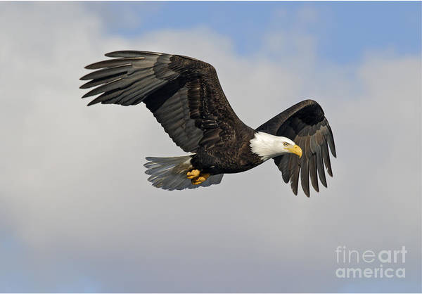 Falconiformes Photograph - Bald Eagle In Flight by Jim Zipp