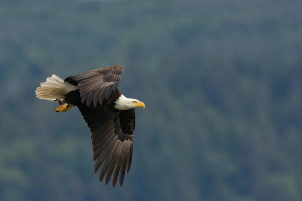 Flying Eagle Photograph - Bald Eagle by Ken Archer