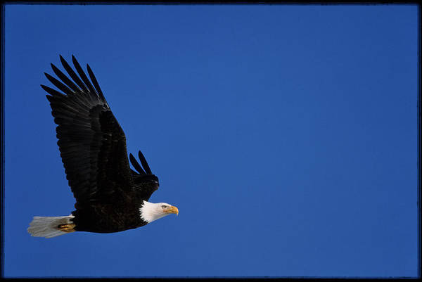 Eagle In Flight Photograph - Bald Eagle by William Ervin/science Photo Library