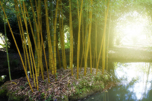 Bamboo Shoots Photograph - Bamboo by Les Cunliffe