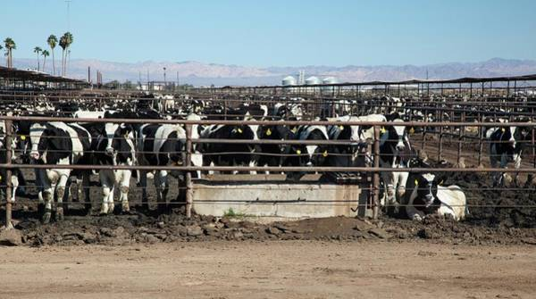 Feedlot Photograph - Beef Cattle by Jim West