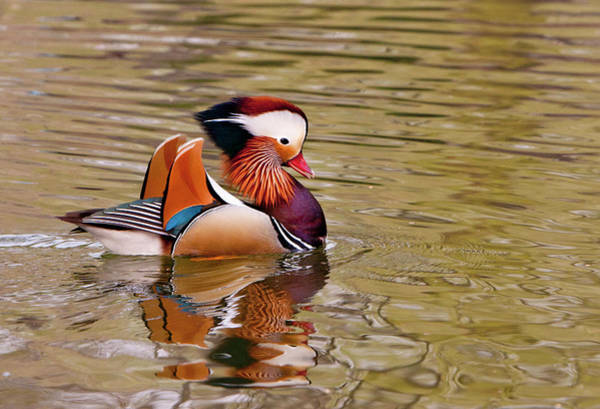 Mandarin Duck Photograph - Beijing, China, Male Mandarin Duck by Alice Garland