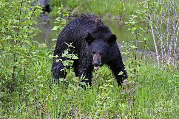 Photograph - Black Bear by Linda Freshwaters Arndt