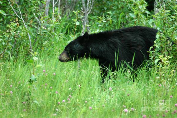 Photograph - 551p Black Bear by NightVisions