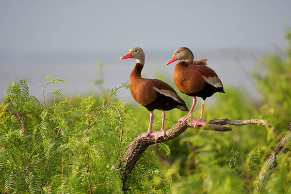 Wall Art - Photograph - Black-bellied Whistling Duck by Larry Ditto