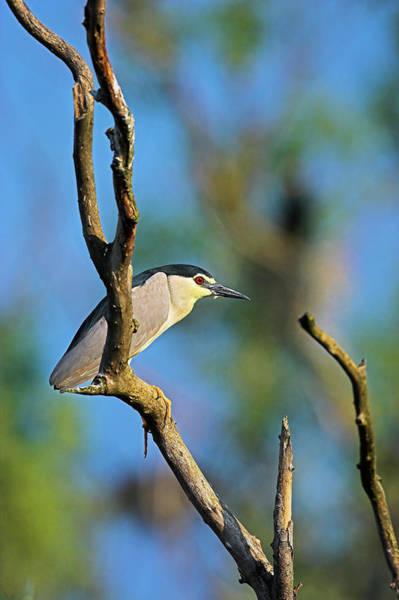 Night-heron Photograph - Black-crowned Night Heron (nycticorax by Martin Zwick