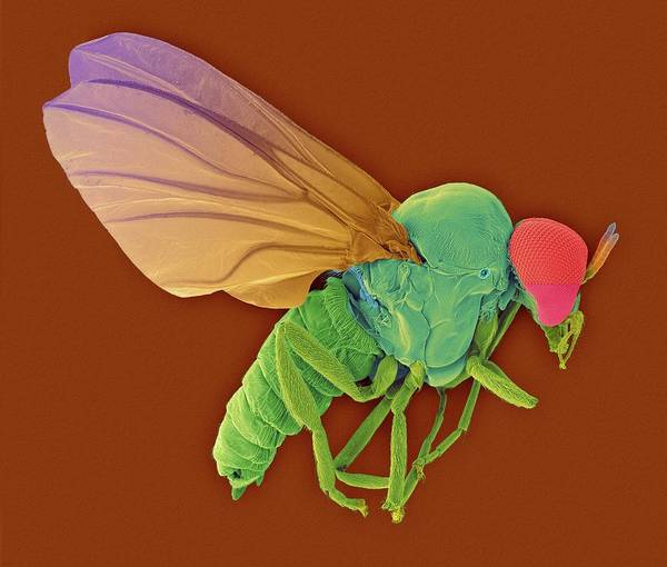 Body Piercing Photograph - Black Fly Adult Male by Dennis Kunkel Microscopy/science Photo Library