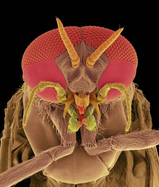 Body Piercing Photograph - Black Fly Adult Male Head by Dennis Kunkel Microscopy/science Photo Library