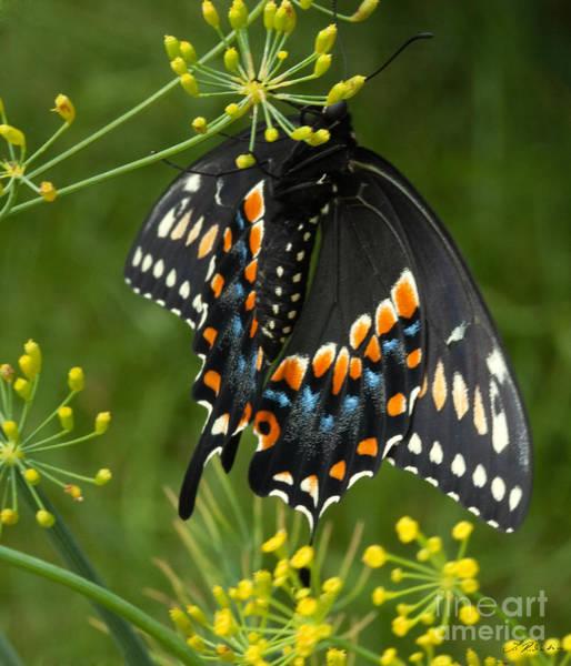 Papilio Polyxenes Photograph - Black Swallowtail by Iris Richardson