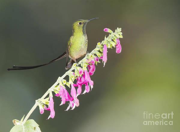 Photograph - Black-tailed Train Bearer Hummingbird by Dan Suzio