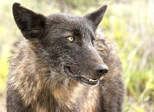 Dixon Photograph - Black Wolf by Deby Dixon