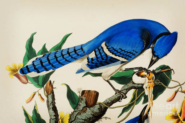 Drawing - Blue Jay by Celestial Images