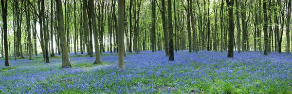 Wall Art - Photograph - Bluebell Wood by Jeremy Walker/science Photo Library