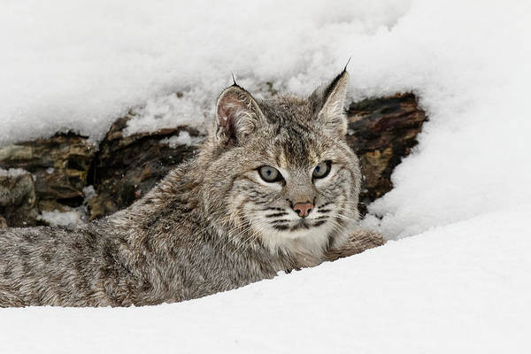 Wall Art - Photograph - Bobcat In Snow, Montana by Adam Jones