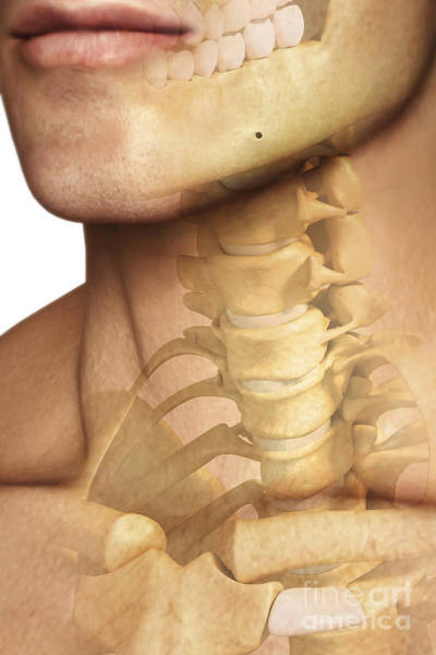 Photograph - Bones Of The Neck by Science Picture Co