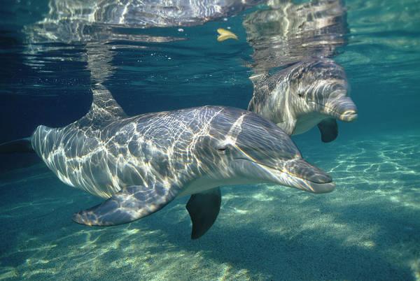 Photograph - Bottlenose Dolphin  Pair Hawaii by Flip Nicklin