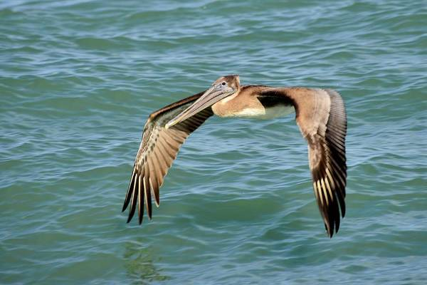 Photograph - Brown Pelican by Bill Hosford