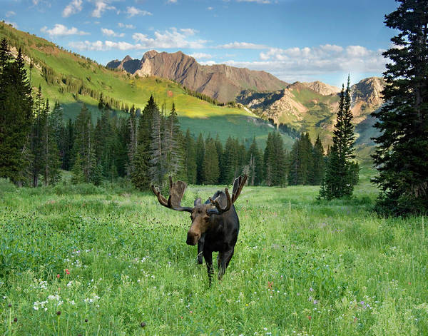 Alces Alces Photograph - Bull Moose (alces Alces by Howie Garber