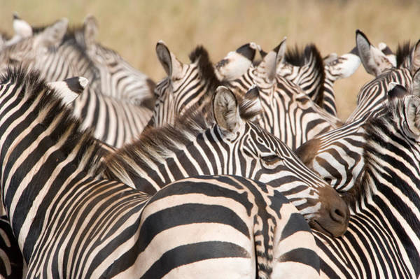 Tarangire Photograph - Burchells Zebras Equus Burchelli by Panoramic Images