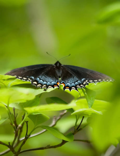 Photograph - Butterfly by Alex Grichenko