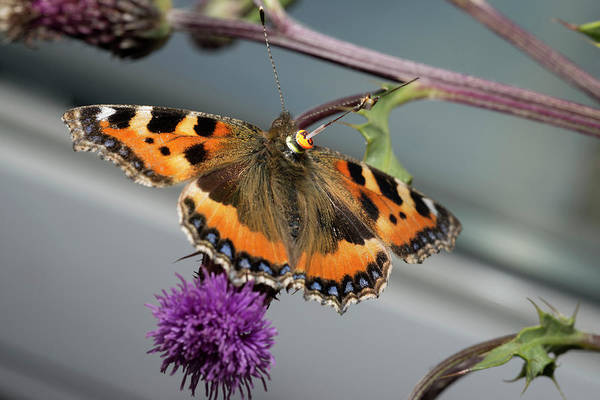 Tortoiseshell Photograph - Butterfly Radar Tagging by Louise Murray