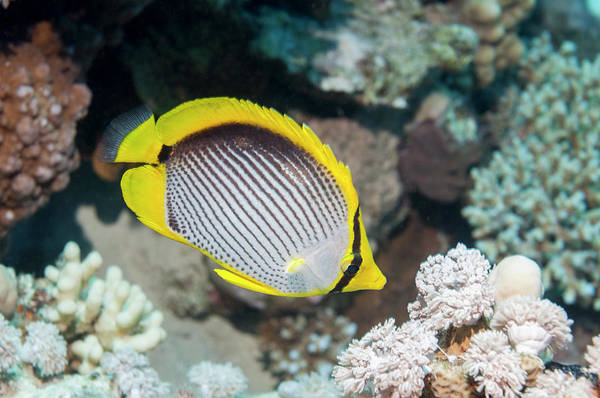 Back In The Day Photograph - Butterflyfish by Georgette Douwma