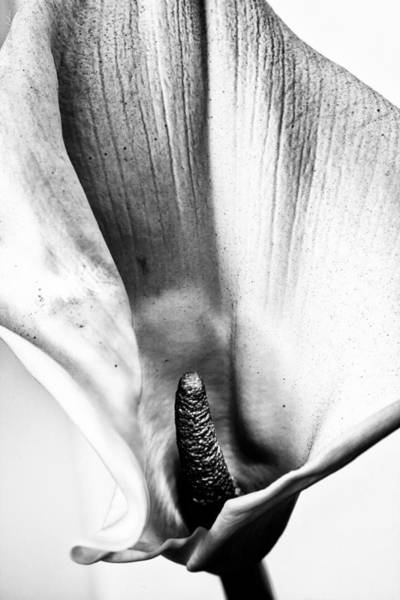 Photograph - Calla Lily by Alexander Fedin