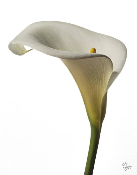 Photograph - Calla Lily by Endre Balogh