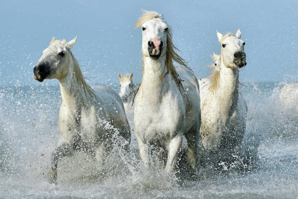 Adapted Photograph - Camargue Horses by Dr P. Marazzi