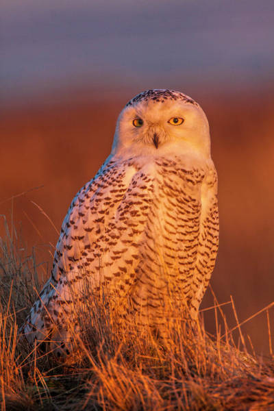 Wall Art - Photograph - Canada, British Columbia, Snowy Owl by Terry Eggers