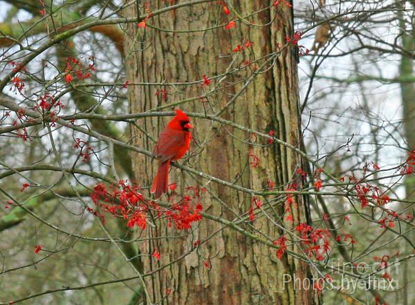 Wall Art - Photograph - Cardinal Love.... by Jinx Farmer
