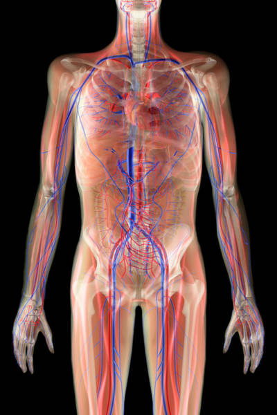 Superior Vena Cava Photograph - Cardiovascular System by Gustoimages/science Photo Library