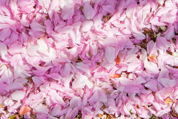 Wall Art - Photograph - Cherry Blossom by Tom Gowanlock
